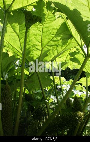 Giant Rhubarb, Gunnera tinctoria, Gunneraceae - Stock Photo