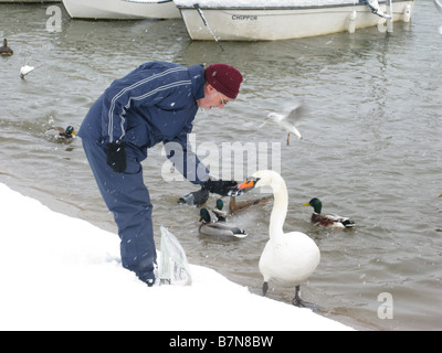 Man feeds a Bewick's Swan in the snow at Thames towpath by Molesey Lock near Hampton Court, East Molesey, Surrey, - Stock Photo