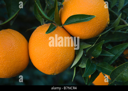 Mature Navel Oranges 'Washington' variety hanging  on branch - Stock Photo