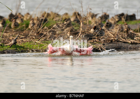Roseate Spoonbill Bathing - Stock Photo