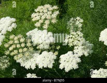 Meum cretensis, Apiaceae, Crete, Greece, Europe - Stock Photo