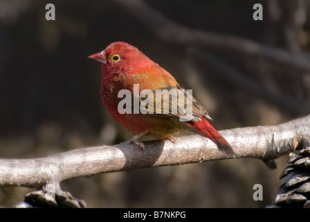 Red-billed Firefinch male 'Lagonosticta senegala' - Stock Photo