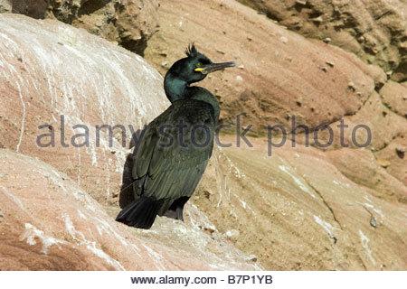 Shag Phalacrocorax aristotelis Adult on Coastal Rocks Moray Firth Ross shire Highland Scotland UK - Stock Photo