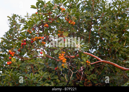 Branch of Strawberry Tree Arbutus unedo showing white flowers and red orange fruit Peloponnese Greece - Stock Photo