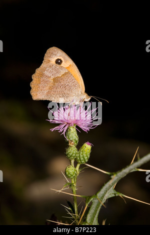 Meadow Brown Butterfly Maniola jurtina feeding on Circium creticum thistle Peloponnese Greece - Stock Photo