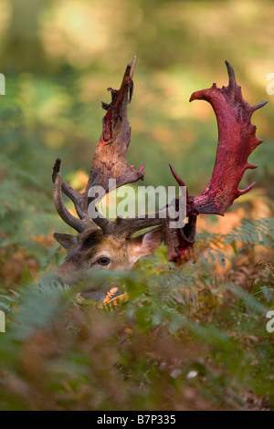 Fallow Deer (Dama dama, Cervus dama). Stag with partially shed velvet among ferns - Stock Photo