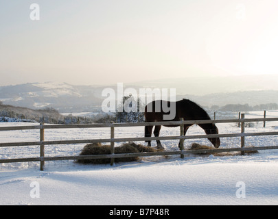Horse eating hay in the countryside at Wilshaw, near Holmfirth, during the February 2009 snowfalls, West Yorkshire, - Stock Photo