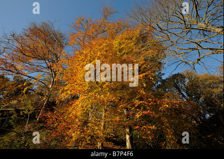 Beech and other deciduous trees in vivid autumn colours near Golspie Sutherland Scotland UK - Stock Photo
