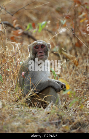 Rhesus Macaque Monkey Macaca mulatta sitting on the ground in long grass with eye contact - Stock Photo