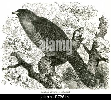common cuckoo Cuculus canorus European Cuculiformes roadrunners anis coucals Hoatzin - Stock Photo
