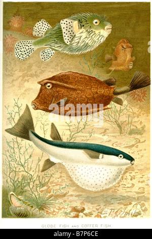 globe fish Coffer fish Tetraodontidae puffers balloonfish blowfish bubblefish globefish swellfish toadfish toadies - Stock Photo