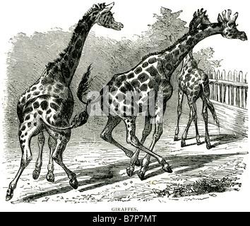 Giraffe Giraffa camelopardalis even-toed ungulate mammal ruminant African pen zoo animal running three Wildlife - Stock Photo