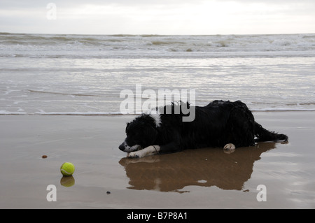 Border collie with tennis ball on beach - Stock Photo