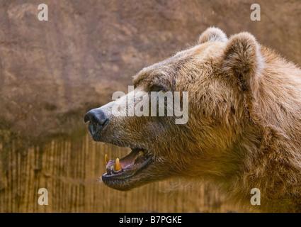 close up of a big brown bear ursus arctos - Stock Photo