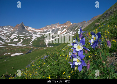 columbine wildflowers blanket a meadow above the high alpine Ice Lakes basin in the san juan mountains of colorado - Stock Photo