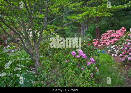 Vashon Island, WA: Path in a Pacific Northwest forest garden featuring flowering rhododendrons and spreading dogwood - Stock Photo
