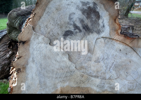 Growth rings on ancient felled oak tree - Stock Photo