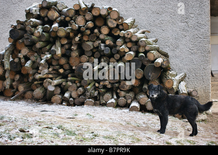 Black dog standing in front of huge pile of cut chopped heat burn wood, remote Klastava village, Slovakia - Stock Photo