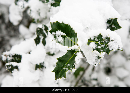 Snow covered holly bush - Stock Photo