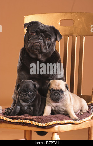 pug with two puppies - sitting on chair - Stock Photo