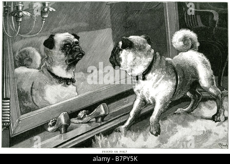 Pug dog mirror reflection table inside curiouse freind or foe canine pet ugly domesticated inside house small - Stock Photo