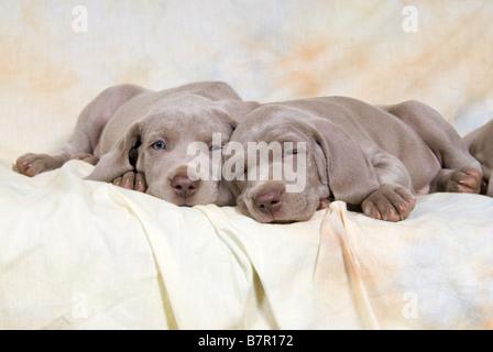 two Weimaraner puppies - lying on Sofa - Stock Photo