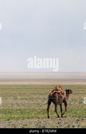 Bactrian camels in Gobi Desert - Stock Photo