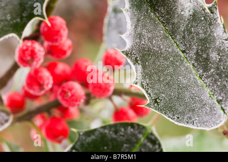 Frozen Holly leaves and berries covered in frost - Stock Photo