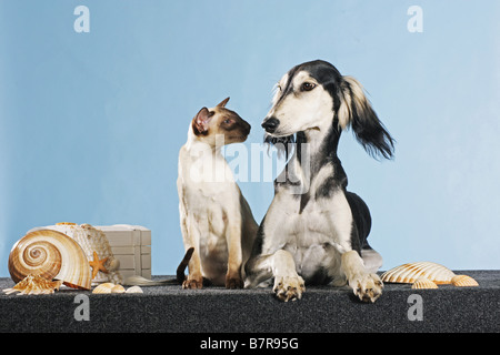 animal friendship: Saluki dog and Siamese cat - Stock Photo