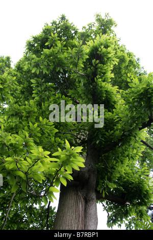 Sweet Chestnut Tree, Castanea sativa, Fagaceae - Stock Photo