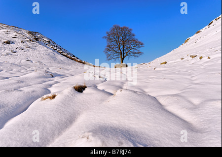 Cold winter view of a lone tree against blue sky at Sycamore Gap on Hadrian's Wall Northumberland  in deep snow - Stock Photo