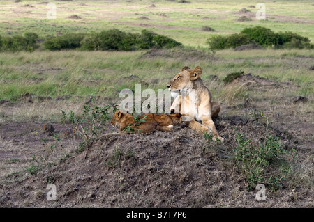 African lioness on  watch while her two  cubs sleeping alongside