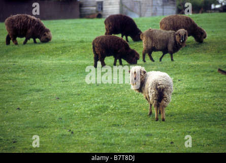 Single white sheep in herd of black sheep. rebel revolt different stand out alone individual solo alone sole lone - Stock Photo