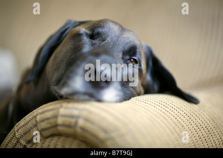 Portrait of a Senior Chocolate Labrador Retriever dog relaxing on the couch.  Winnipeg, Manitoba, Canada. - Stock Photo