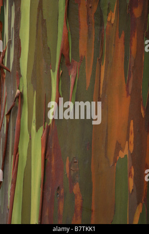 Detail of fabulous colorful bark of Rainbow Gum Eucalyptus, (Eucalyptus deglupta) - Stock Photo