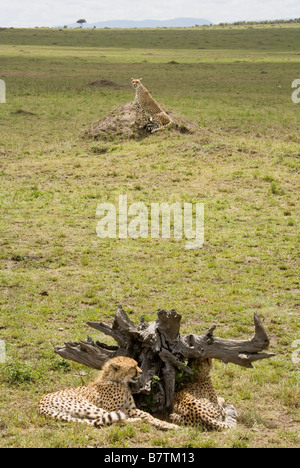 Cheetah sitting on a mound with her two cubs in the foreground in the Masai Mara in Kenya Stock Photo