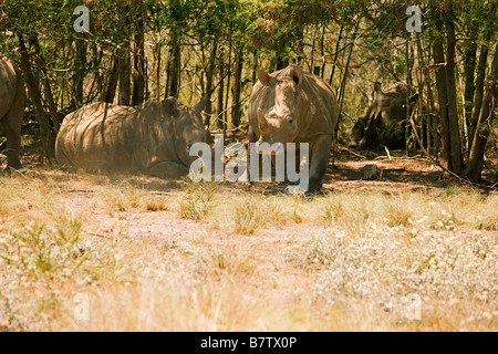 White Rhino getting ready to charge - Stock Photo