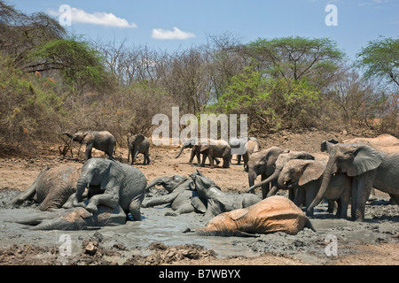 Kenya, Tsavo East, Ithumba. Young elephants enjoy a mud bath at Ithumba in a unit for orphans - Stock Photo
