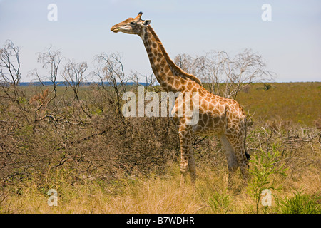 Giraffe eating leaves in a game reserve in South Africa - Stock Photo
