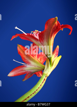 Giant Amaryllis lily in full bloom. - Stock Photo