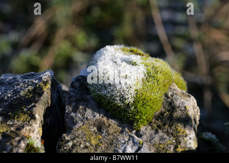 Frost covered clump of Wall screw-moss Manifold Valley Staffordshire, England - Stock Photo
