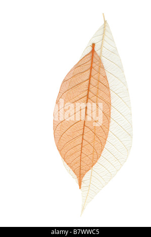 Skeleton leaves on the white background - Stock Photo