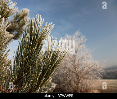 Frost on fir tree branches - Stock Photo