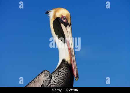 Portrait of a brown pelican (pelecanus occidentalis) in Key West, Florida. - Stock Photo