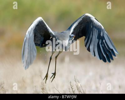 grey heron (Ardea cinerea), taking off, Spain, Andalusia, Almeria - Stock Photo