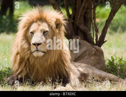 Male Lion Lion Park South Africa - Stock Photo