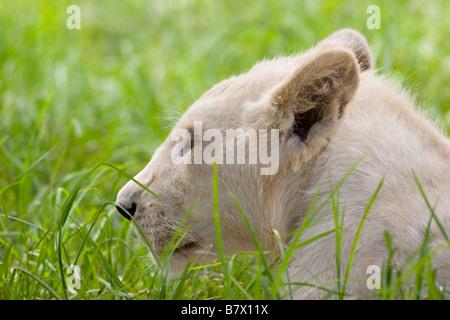 White Lion Cub at Lion Park South Africa - Stock Photo
