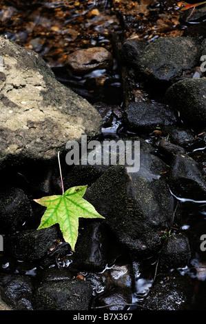 single one green fallen maple leaf on wet rocks dry river stream creek bed autumn fall - Stock Photo
