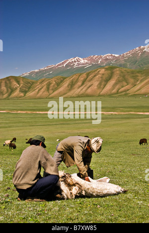 Kyrgyz nomads shearing a sheep in the fields - Stock Photo