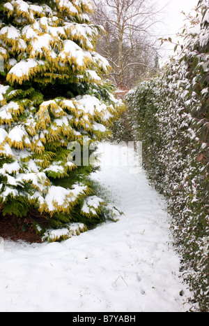Conifer and mixed boundary hedge with snow in February - Stock Photo